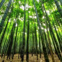 Бамбук, аромат-ароматизатор