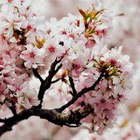 Японский сад, аромат-ароматизатор