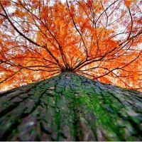 Красное дерево, аромат-ароматизатор