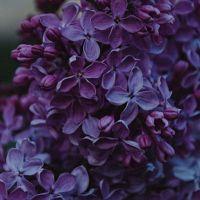 Виолет, аромат-ароматизатор